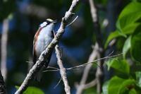 Chestnut-sided Warbler, 2020a