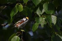 Chestnut-sided Warbler, 2020b
