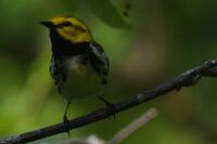 Black-throated Green Warbler, 2020a