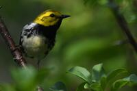 Black-throated Green Warbler, 2020b