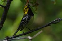 Black-throated Green Warbler, 2020c