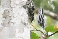 Black-and-white Warbler, 2020a