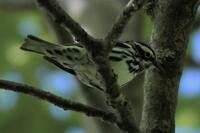 Black-and-white Warbler, 2020b