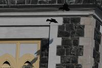Common Ravens, 2020a