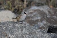 White-crowned Sparrow, 2020a