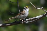 White-throated Sparrow, 2020b