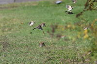 White-throated Sparrows in Flight, 2020