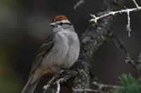 Chipping Sparrow, 2020a