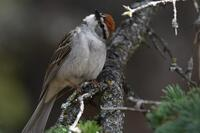 Chipping Sparrow, 2020b