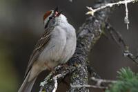 Chipping Sparrow, 2020c
