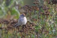 American Tree Sparrow, 2020a