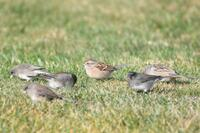 American Tree Sparrow with other migrants, 2020